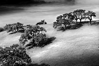 Oak Trees, California