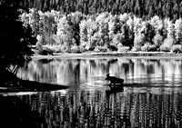 Moose, Oxbow Bend, Grand Tetons National Park, Wyoming