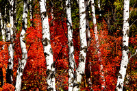 Aspen Trees, Wyoming